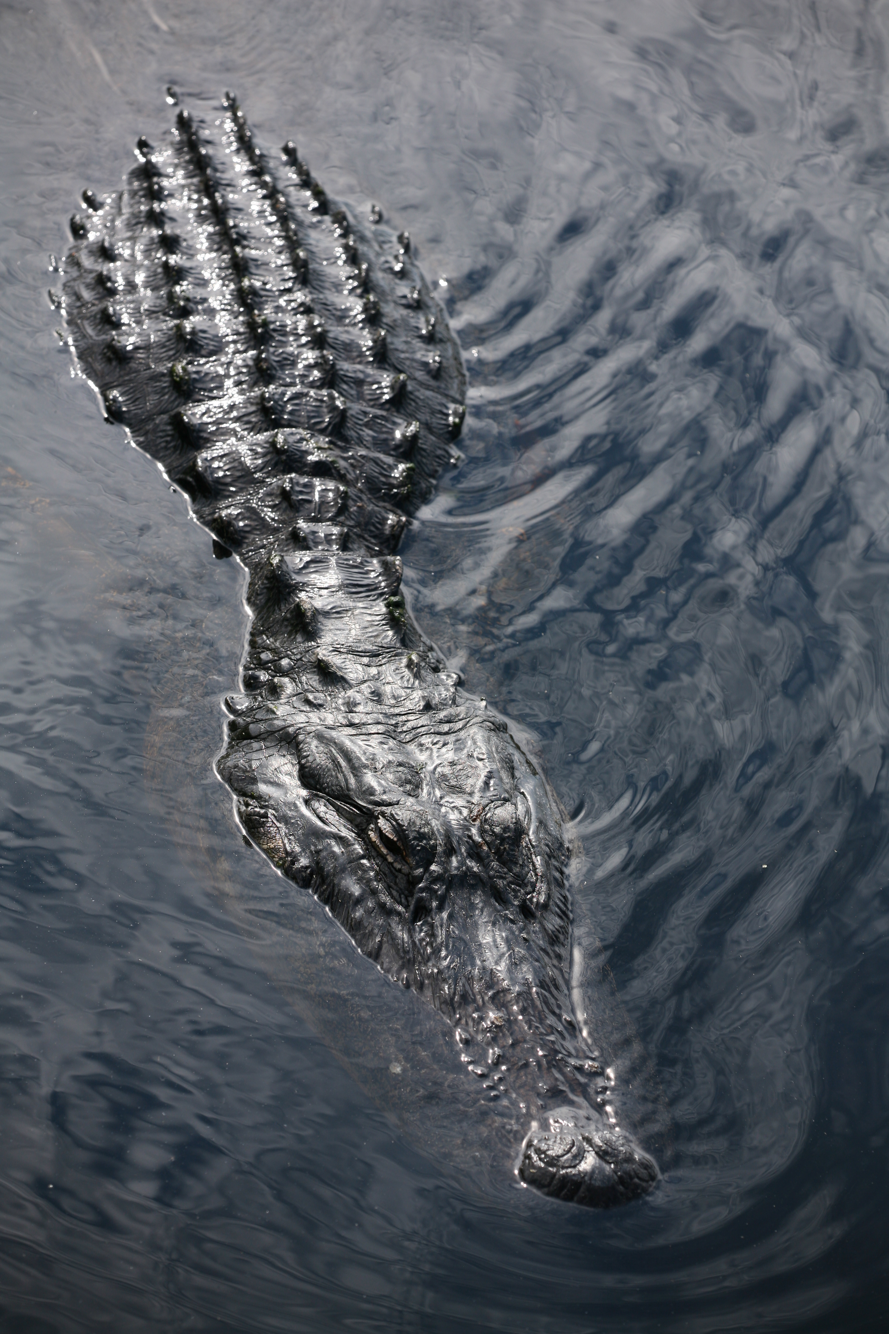 FIGURE 1. Partially submerged alligator, seen from above. Image courtesy of Wikisource.
