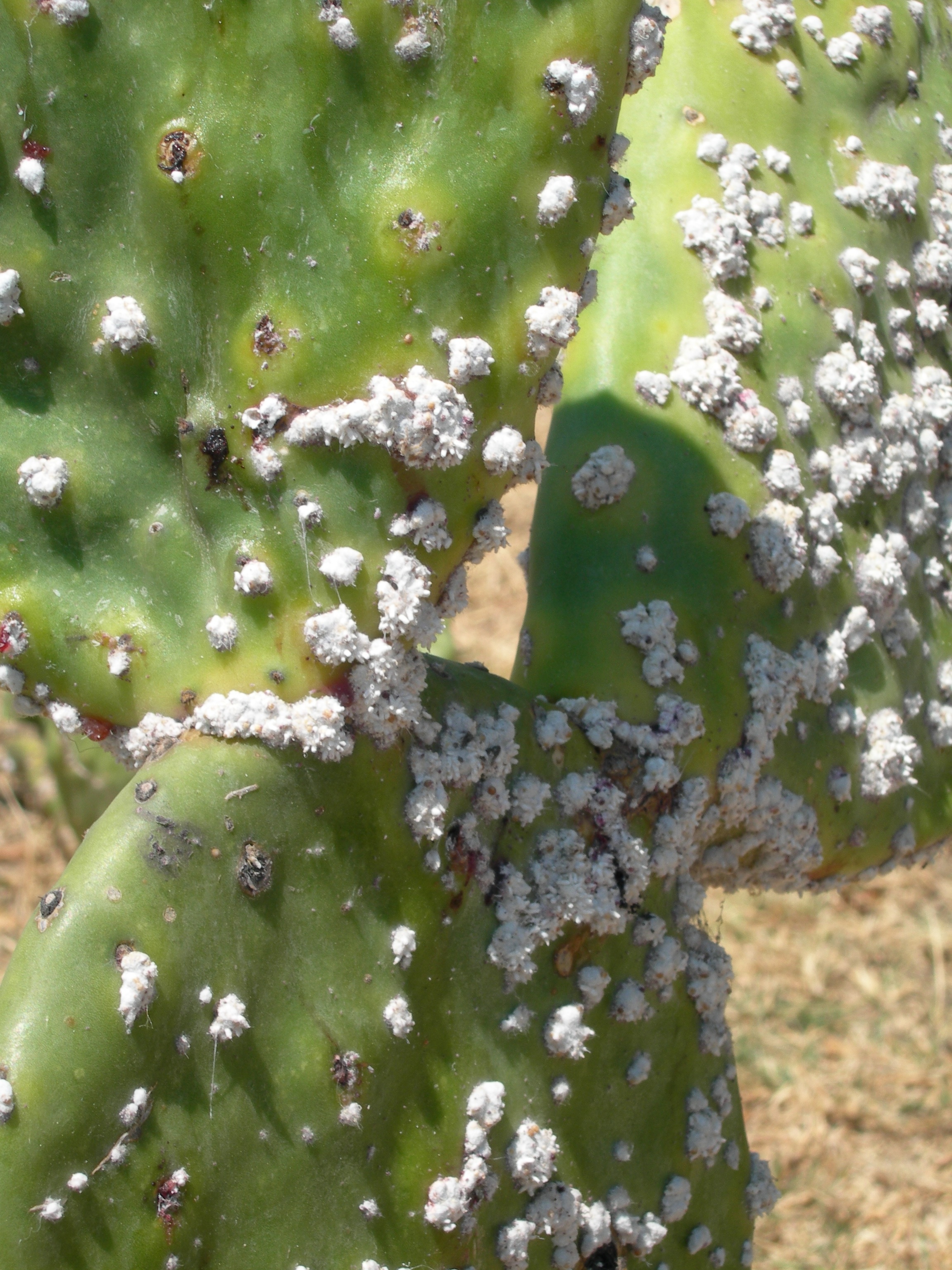 FIGURE 8. Nopal cactus infested with cochineal parasites. The white secretions protect the insects, who have burrowed into the nopal's flesh. Oaxaca, April 2006. Photo by Byron Hamann.